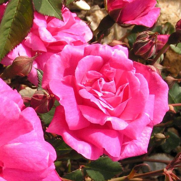Fellemberg/ La Belle Marseillaise - Pink China Rose