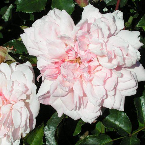Francois Juranville - Pink Rambling Rose