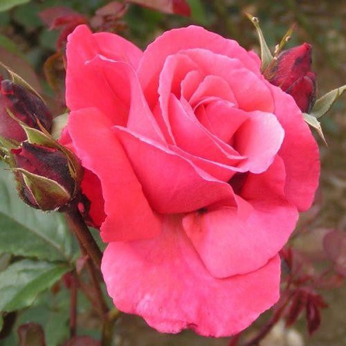 Galway Bay - Pink Climbing Rose