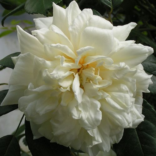 Gardenia - Rambling Rose