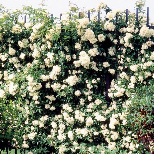 Glen Dale a cream coloured rambling rose.