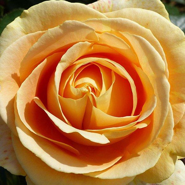 Global Beauty - Yellow Nostalgic Rose