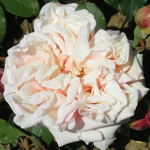 Gloire de Dijon - Climbing Rose