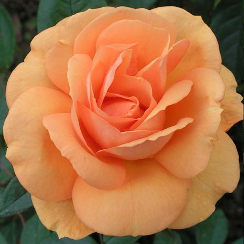 Golden Beauty - Orange Modern Bush Rose