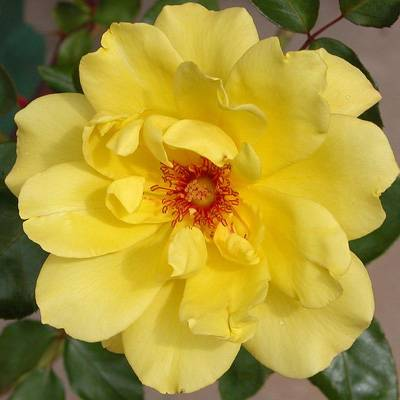 gowlers plants Golden showers climbing rose bush bare root pre order