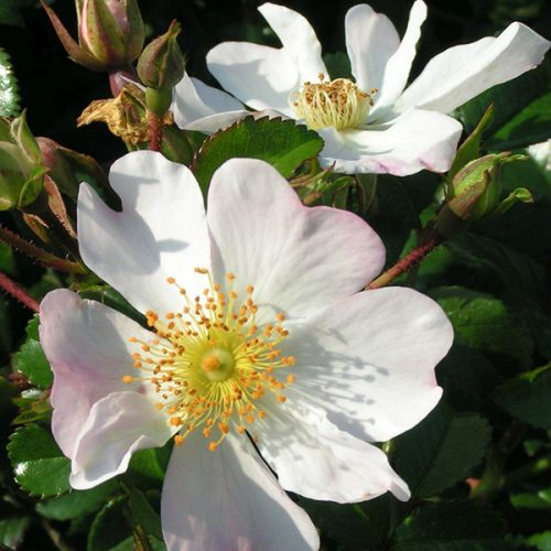 Grouse - Ground Cover Rose