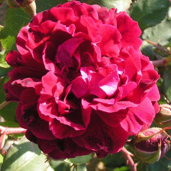 Gruss an Teplitz - Red China Rose