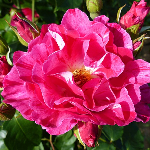 Guy Savoy - Striped Delbard Rose