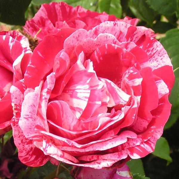 Henri Mattise - Striped Delbard Rose