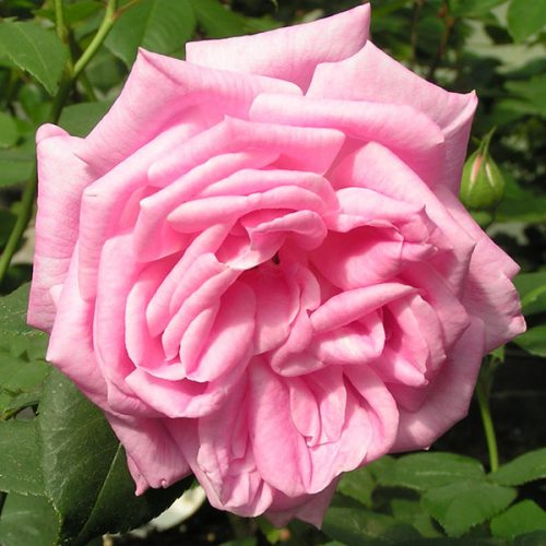 Hermosa - Pink China Rose
