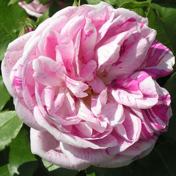 Honorine de Brabant - Striped Bourbon Rose