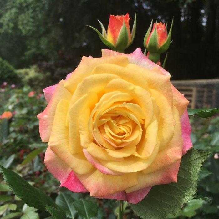 Smiles - Modern Bush Rose