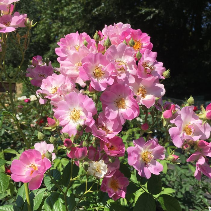 Blush Rambler - Pink Rambling Rose