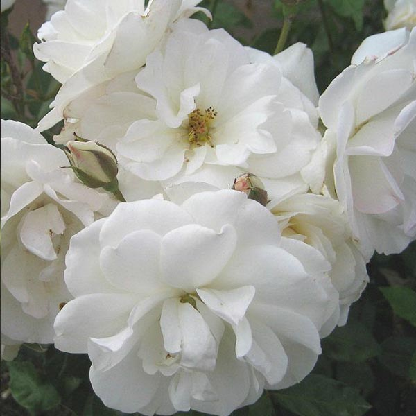 Iceberg - White Climbing Rose