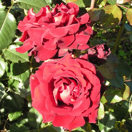 Isabel - Red Renaissance Rose