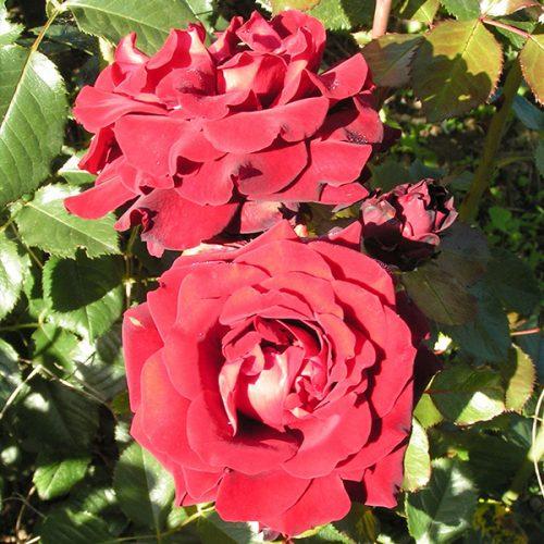 Isabel - Red Renaissance Rose