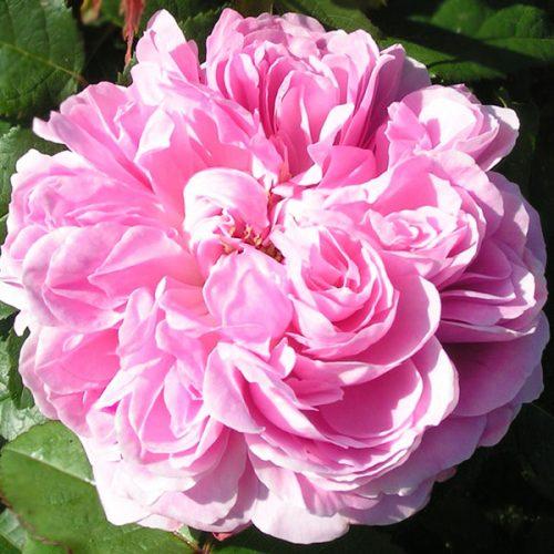Jacques Cartier - Pink Damask Rose