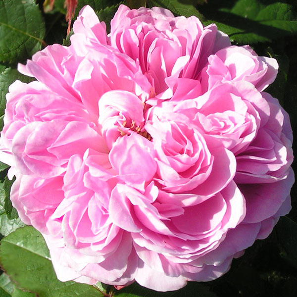 Jacques Cartier - Pink Damask Rose