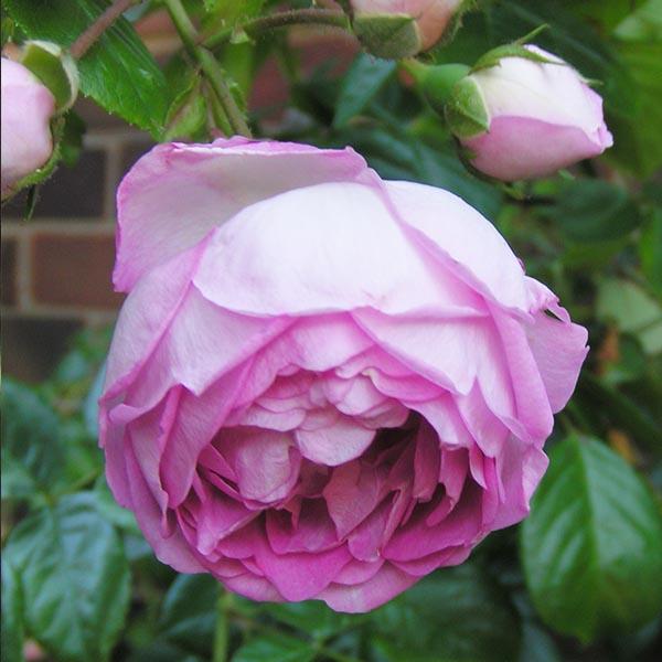 Jasmina - Pink Climbing Rose