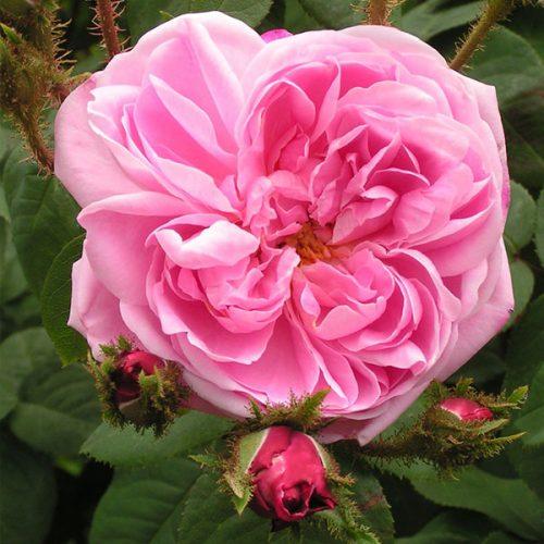 Jeanne de Montfort - Pink Moss Rose