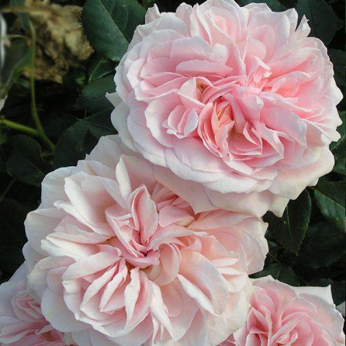 Joie de Vivre - Pink Bush Rose
