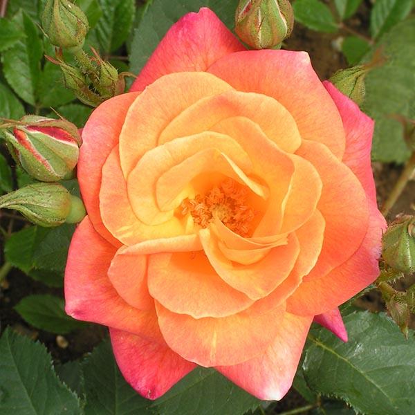 Josephs Coat Rose Climbing Rose Trevor White Roses