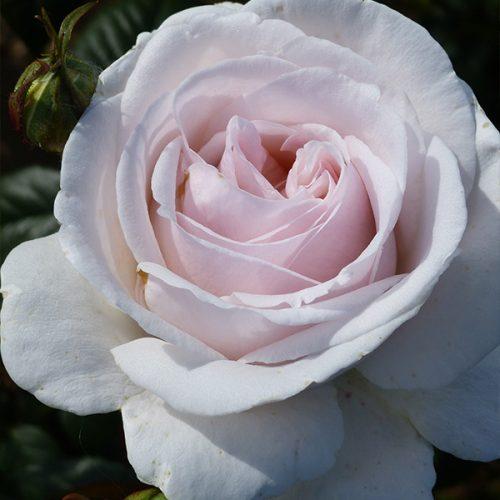 Julia - Pink Renaissance Rose