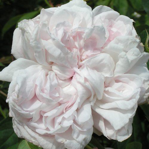 Juno - Pink Alba Rose