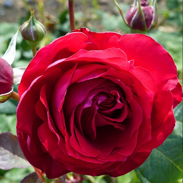 Katherine a wonderful red Renaissance Rose
