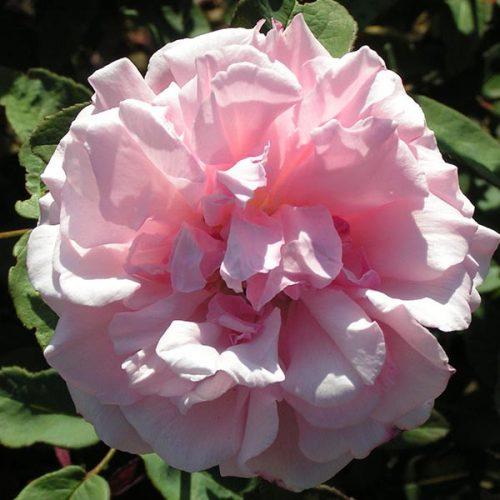 Kathleen Harrop - Pink Climbing Rose