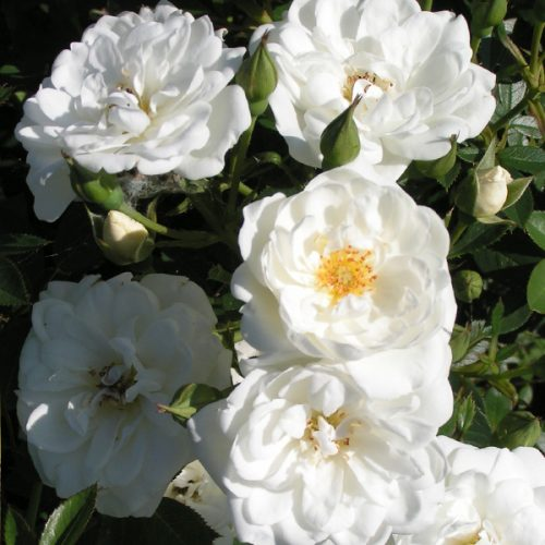 Kent - White Ground Cover Rose