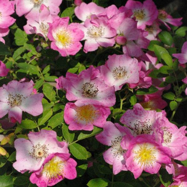 Kew Rambler - Rambling Rose