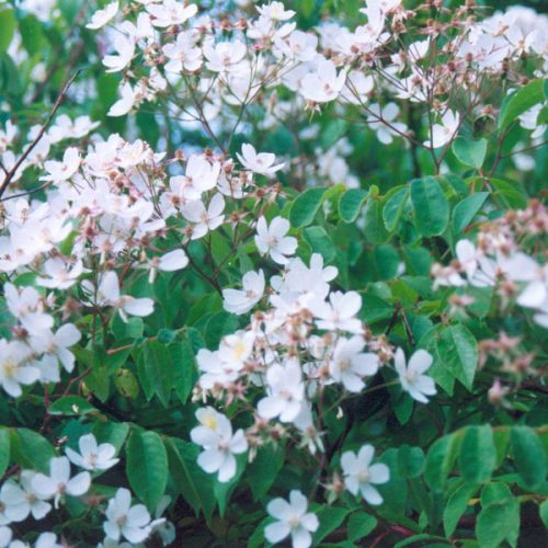 Kiftsgate - White Rambling Rose