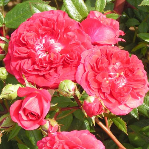 Kisses of Fire - Red Rambling Rose
