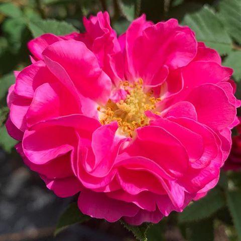 La Belle Distinguee - Species Rose., smells like apples.