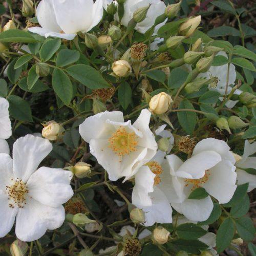 La Mortola - White Rambling Rose