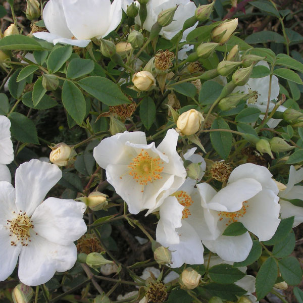 La Mortola - White Rambling Rose