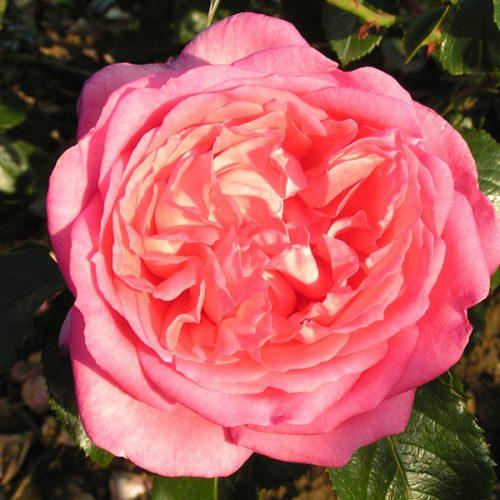 La Rose de Molinard - Pink Delbard Rose