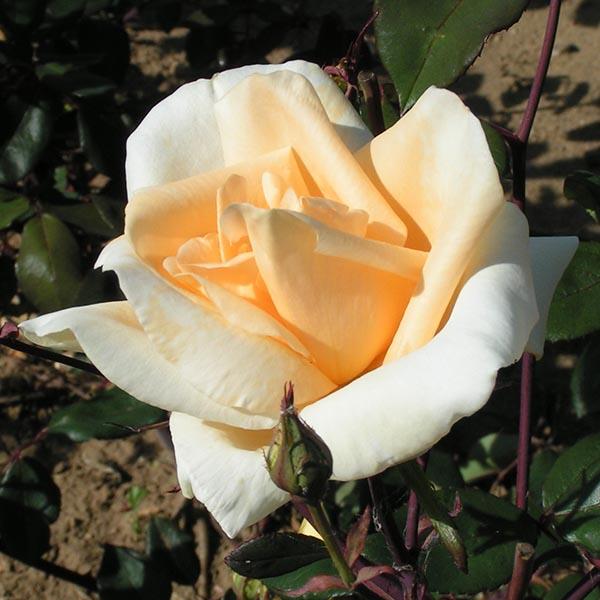 Lady Hillingdon - Yellow Climbing Rose
