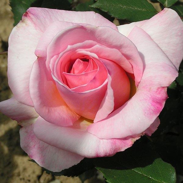 Lady Sylvia - Pink Climbing Rose