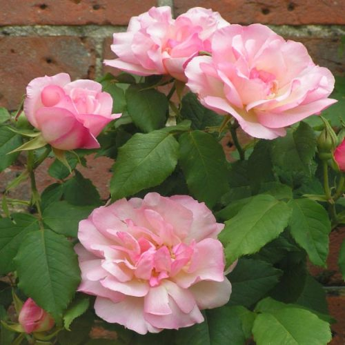 Lady Waterlow - Pink Climbing Rose
