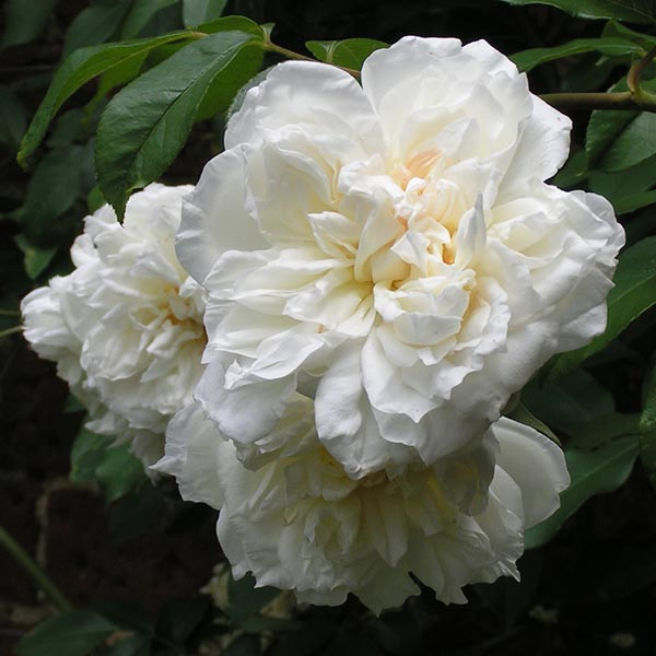 Lovely White Climbing Rose