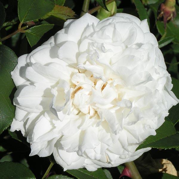 Lamarque - White Climbing Rose