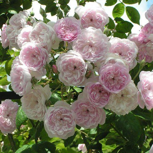 Laure Davoust - Pink Rambling Rose