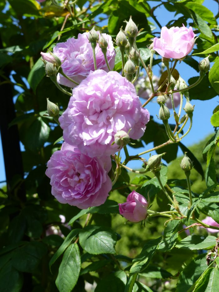 Beautiful Pink Rambler - Laure Davoust