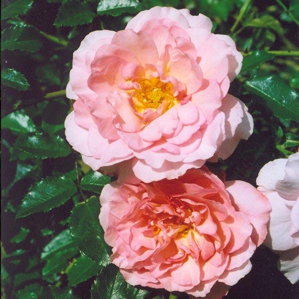 Laure Louisa - Pink Climbing Rose