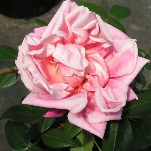 Le Vesuve - Pink China Rose