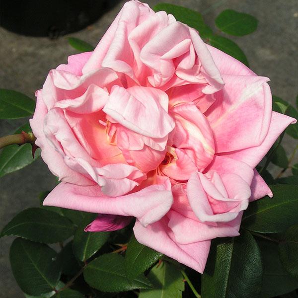 Le Vesuve - Pink China Rose