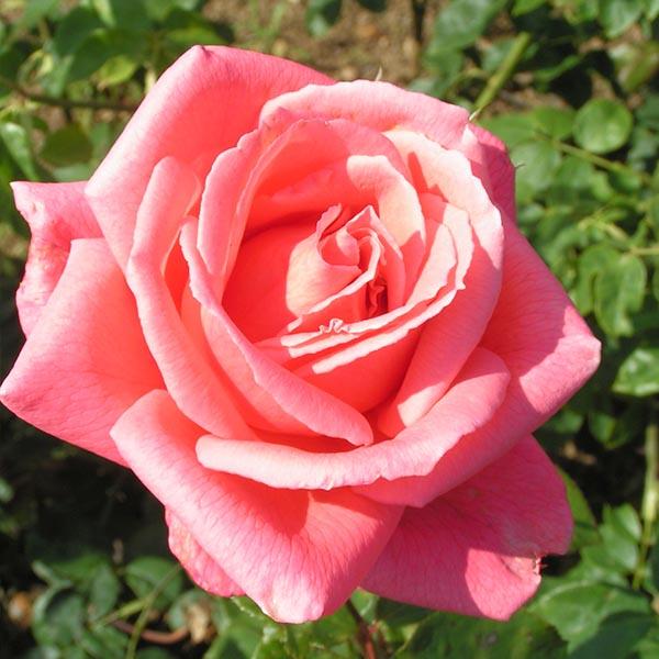 Leaping Salmon - Pink Climbing Rose
