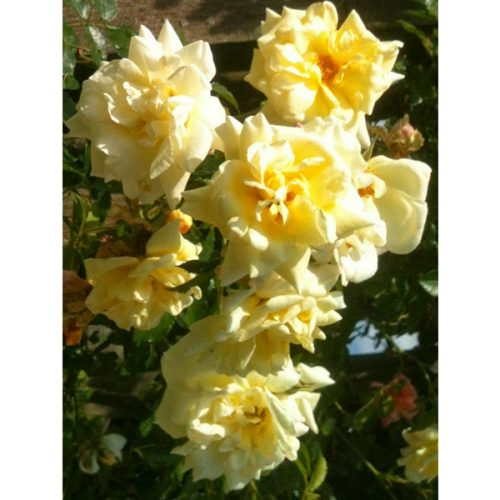 Leverkusen - Yellow Rambling Rose